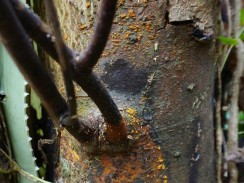 Woodland Trust sweet chestnut blight ana perez